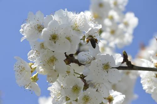 les cerisiers en fleur aop cerises de france. Black Bedroom Furniture Sets. Home Design Ideas